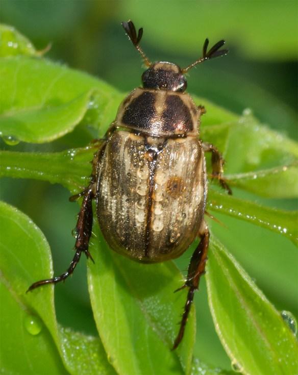 Beetle 15