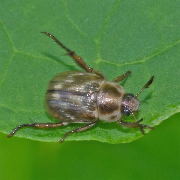 Beetle 16