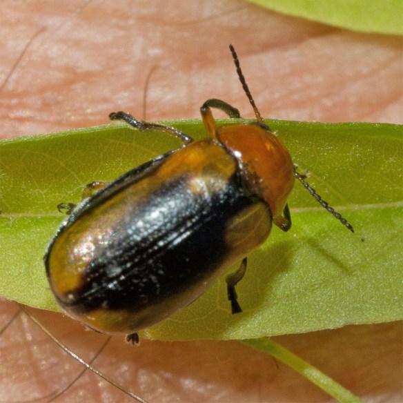 Beetle 17