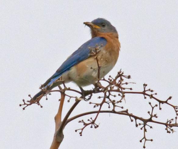 Bluebird 204