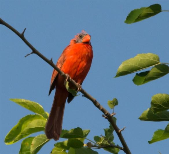 Cardinal 198