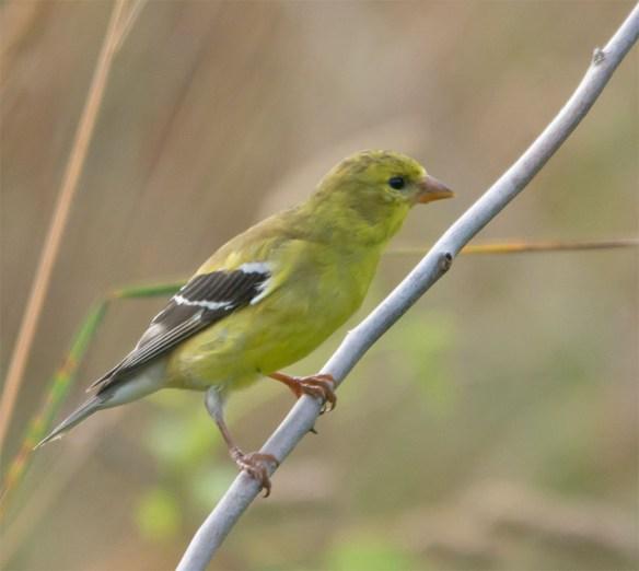 Goldfinch 211