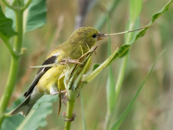 Goldfinch 213