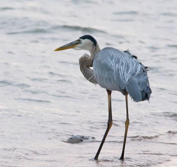 Great Blue Heron 319