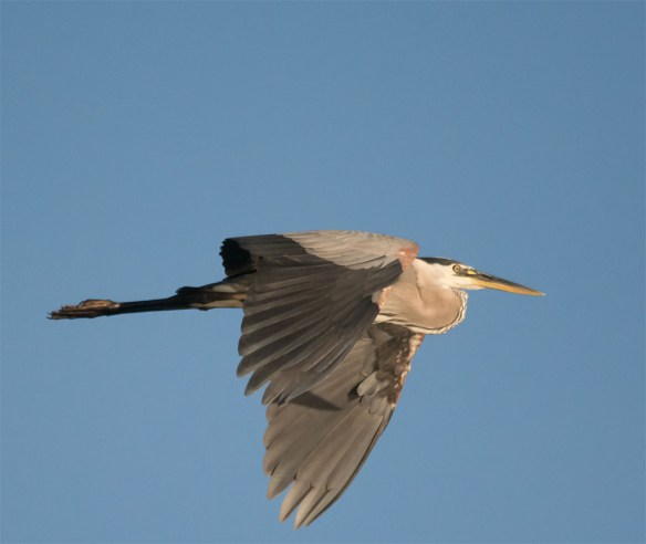 Great Blue Heron 327