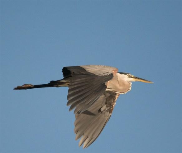 Great Blue Heron 327