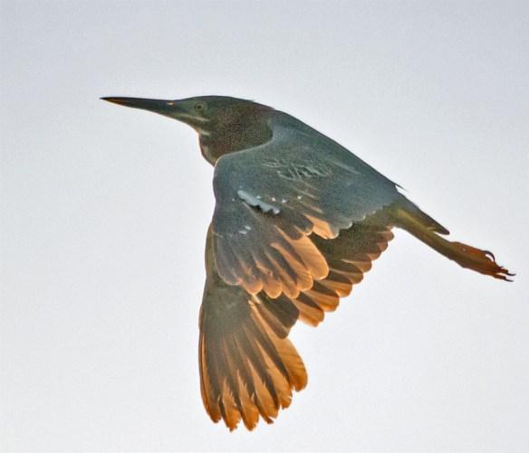 Green Heron 111