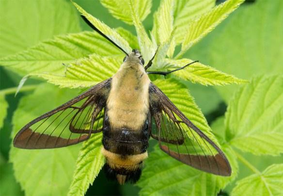 Hummingbird Clearwing 14