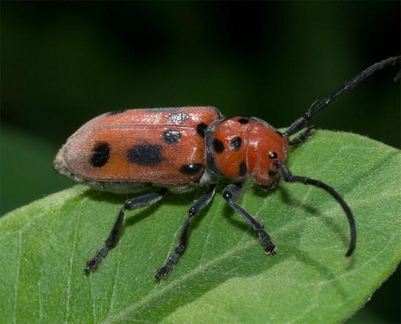 Milkweed Beetle 4