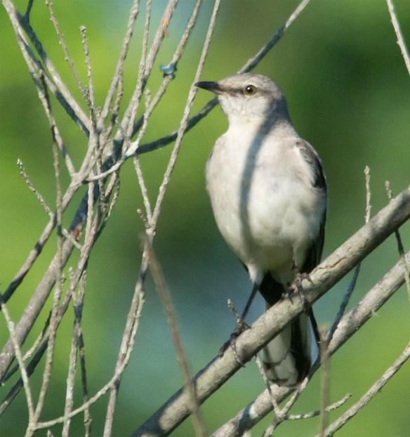 Mockingbird 102