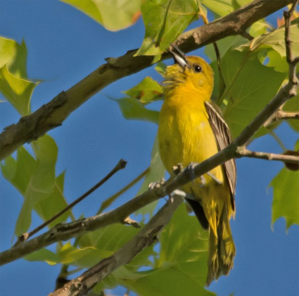 Orchard Oriole 109