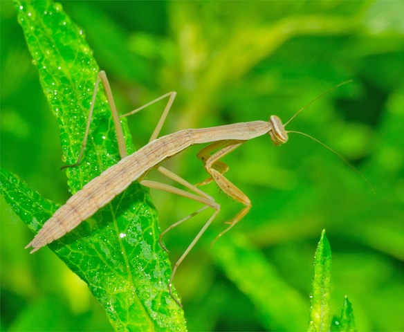 Praying Mantis 48