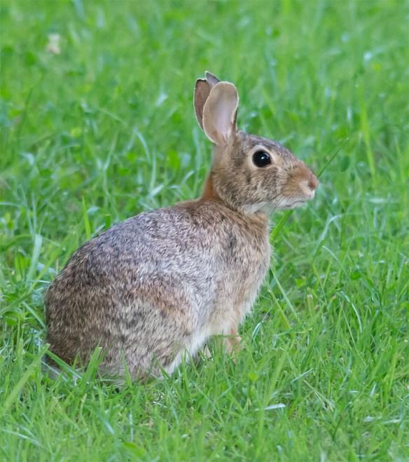 Rabbit 21