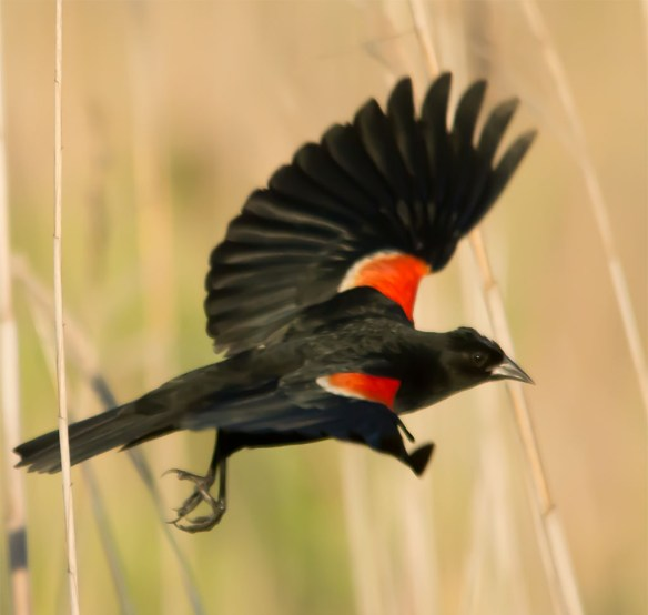 Red Winged Blackbird 107