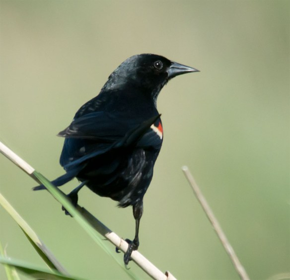 Red Winged Blackbird 108