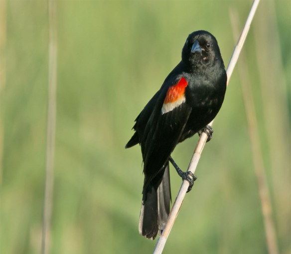 Red Winged Blackbird 110