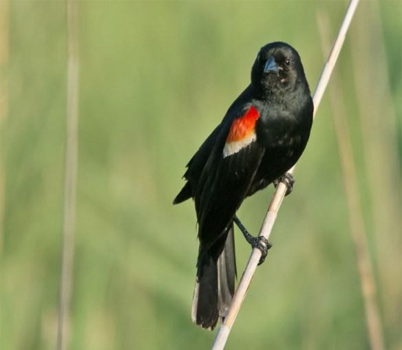 Red Winged Blackbird 110