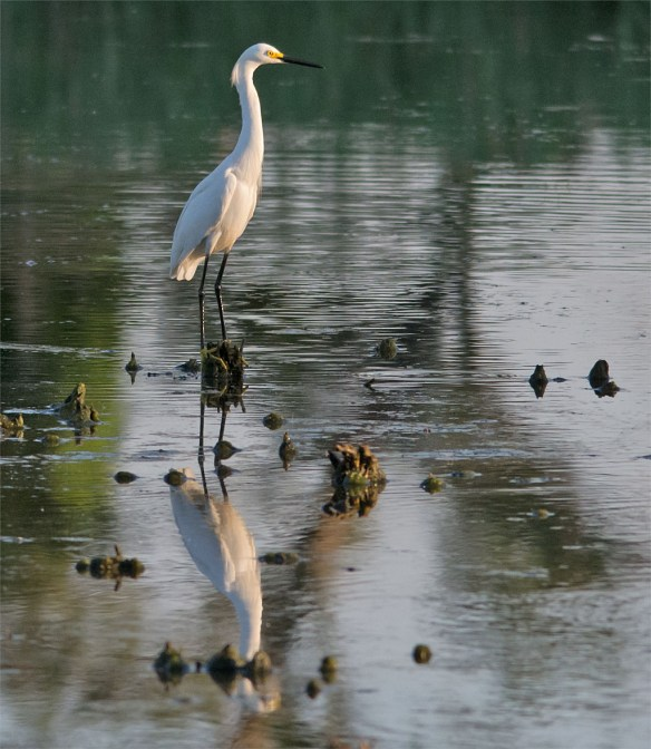 Snowy Egret 127