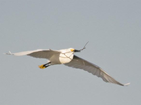 Snowy Egret 132