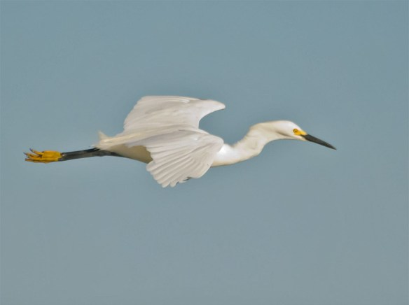 Snowy Egret 133