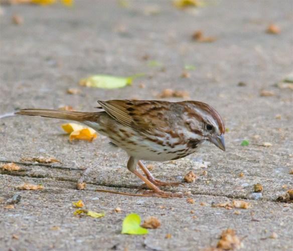 Song Sparrow 136