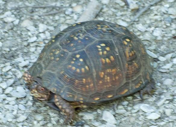 Turtle 41