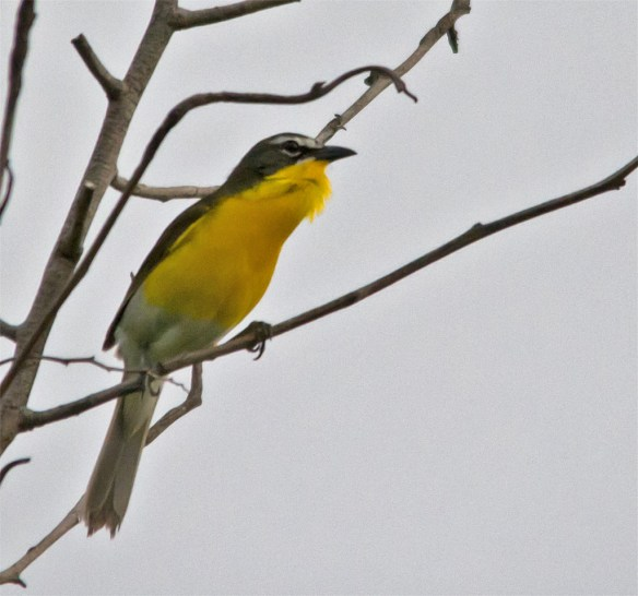 Yellow Breasted Chat 214