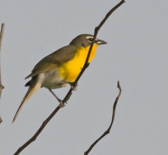 Yellow Breasted Chat 215