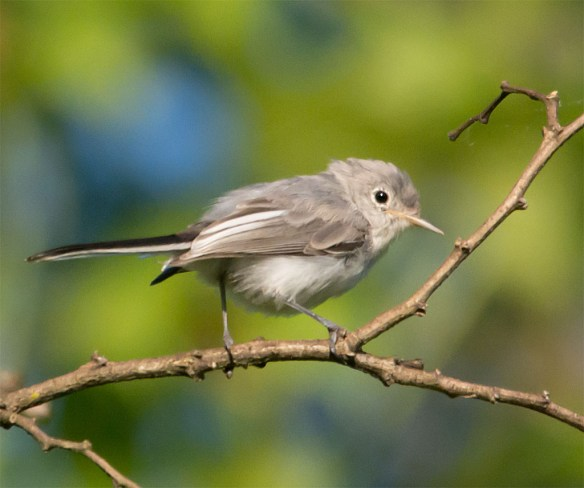Blue Gray Gnatcatcher 217