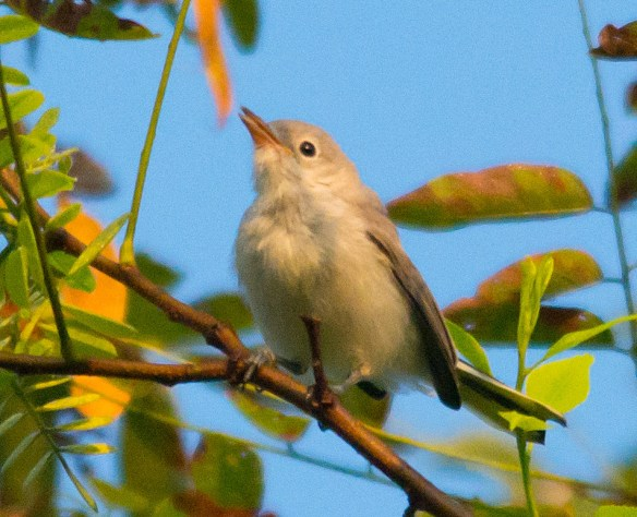 Blue Gray Gnatcatcher 218