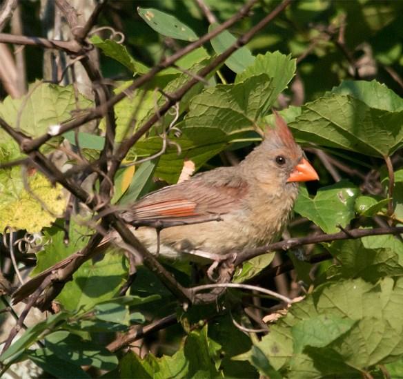 Cardinal 200