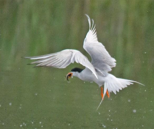 Caspian Tern 122