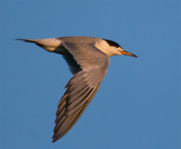 Common Tern 129