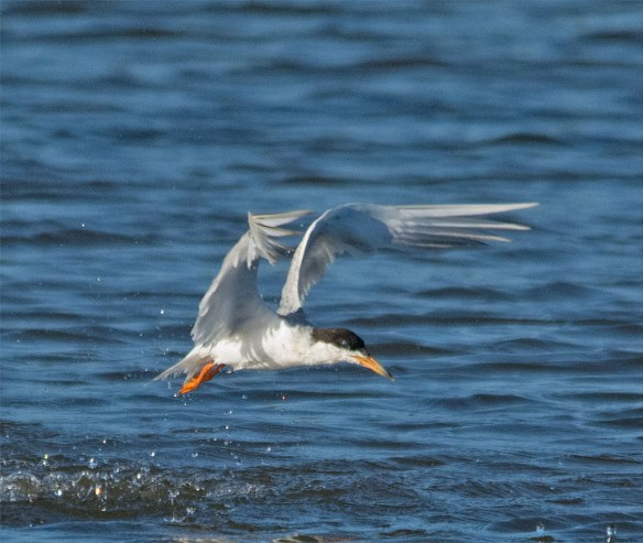 Common Tern 132