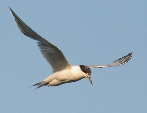 Common Tern 137