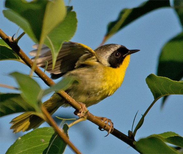 Common Yellowthroat 215