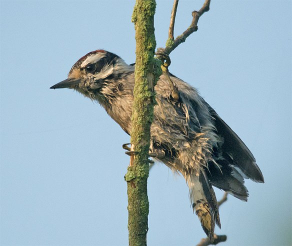 Downy Woodpecker 034