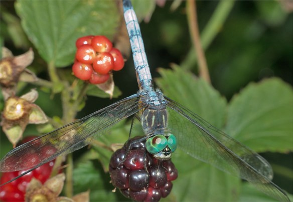 Dragonfly 58
