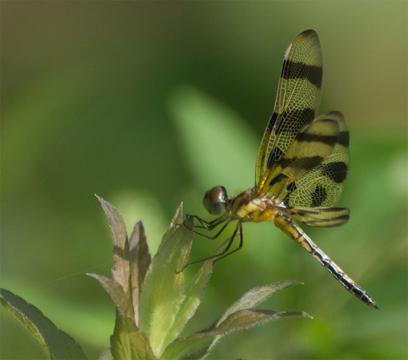 Dragonfly 63