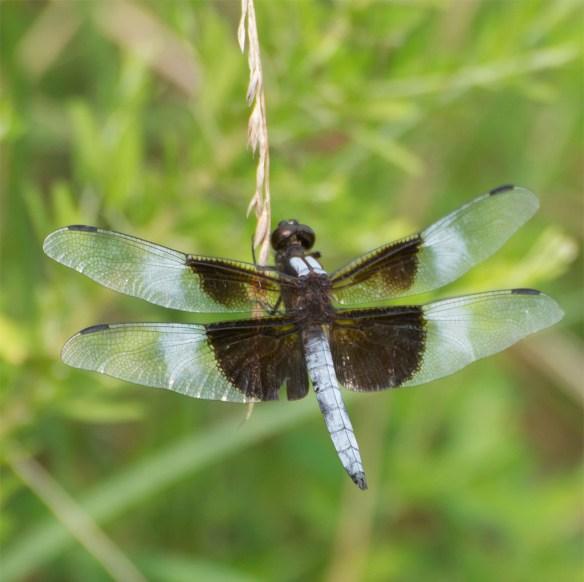 Dragonfly 64