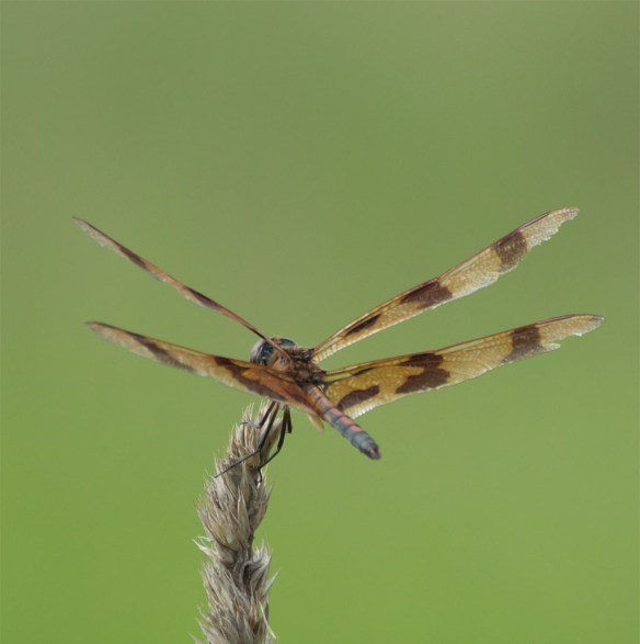 Dragonfly 65