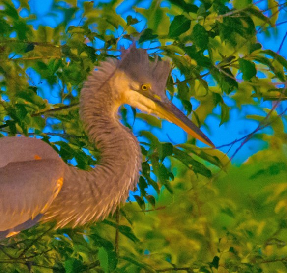 Great Blue Heron 334