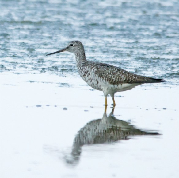 Greater Yellowlegs 100