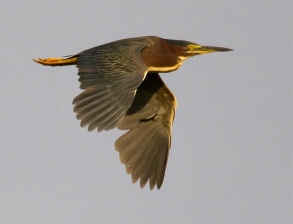 Green Heron 116