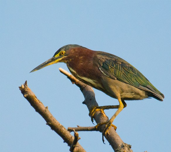 Green Heron 126