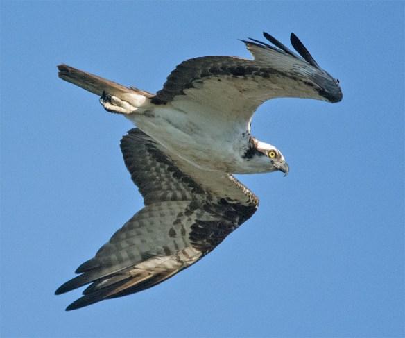 Osprey 361