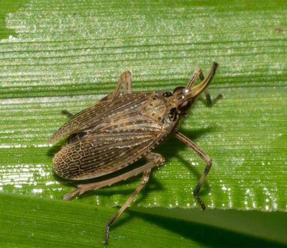 Partridge Bug 7