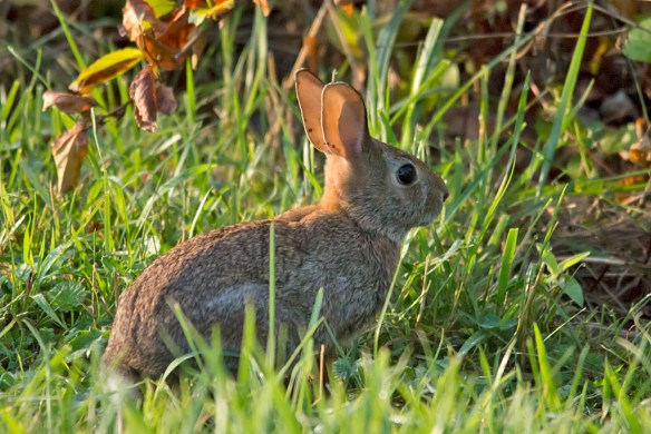 Rabbit 22