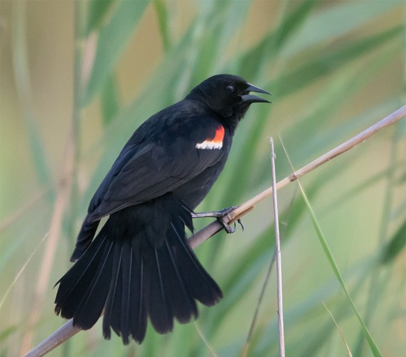 Red Winged Blackbird 112