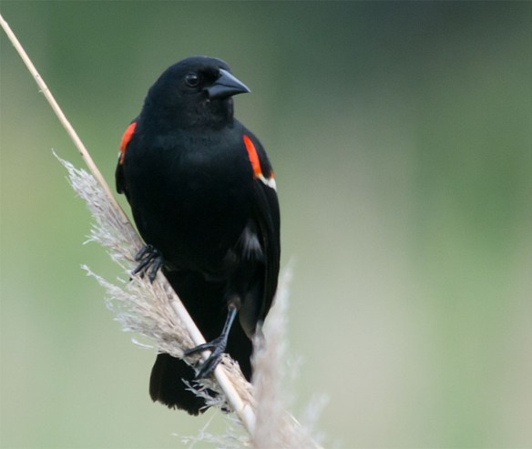 Red Winged Blackbird 114